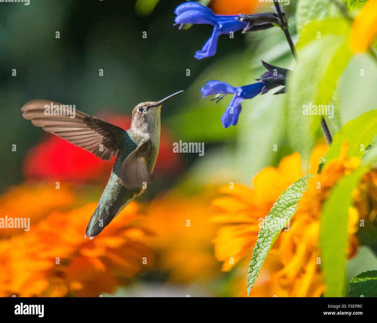 Vögel, schwarz Chinned Kolibri saugen Dinger aus Anis Salbei Blume, Idaho, USA Stockbild
