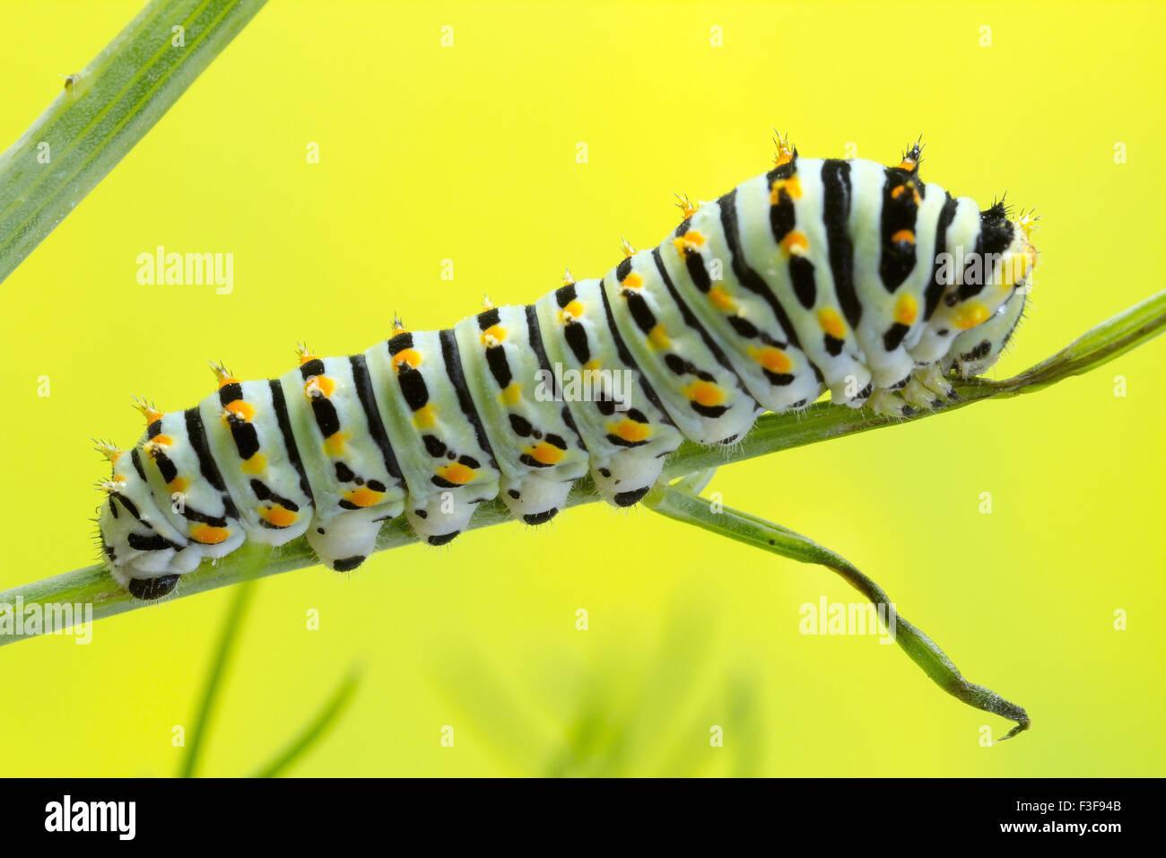 Schwalbenschwanz-Catrepillar, 6 Tage nach dem Schlupf und ca. 20mm in der Länge. Stockbild