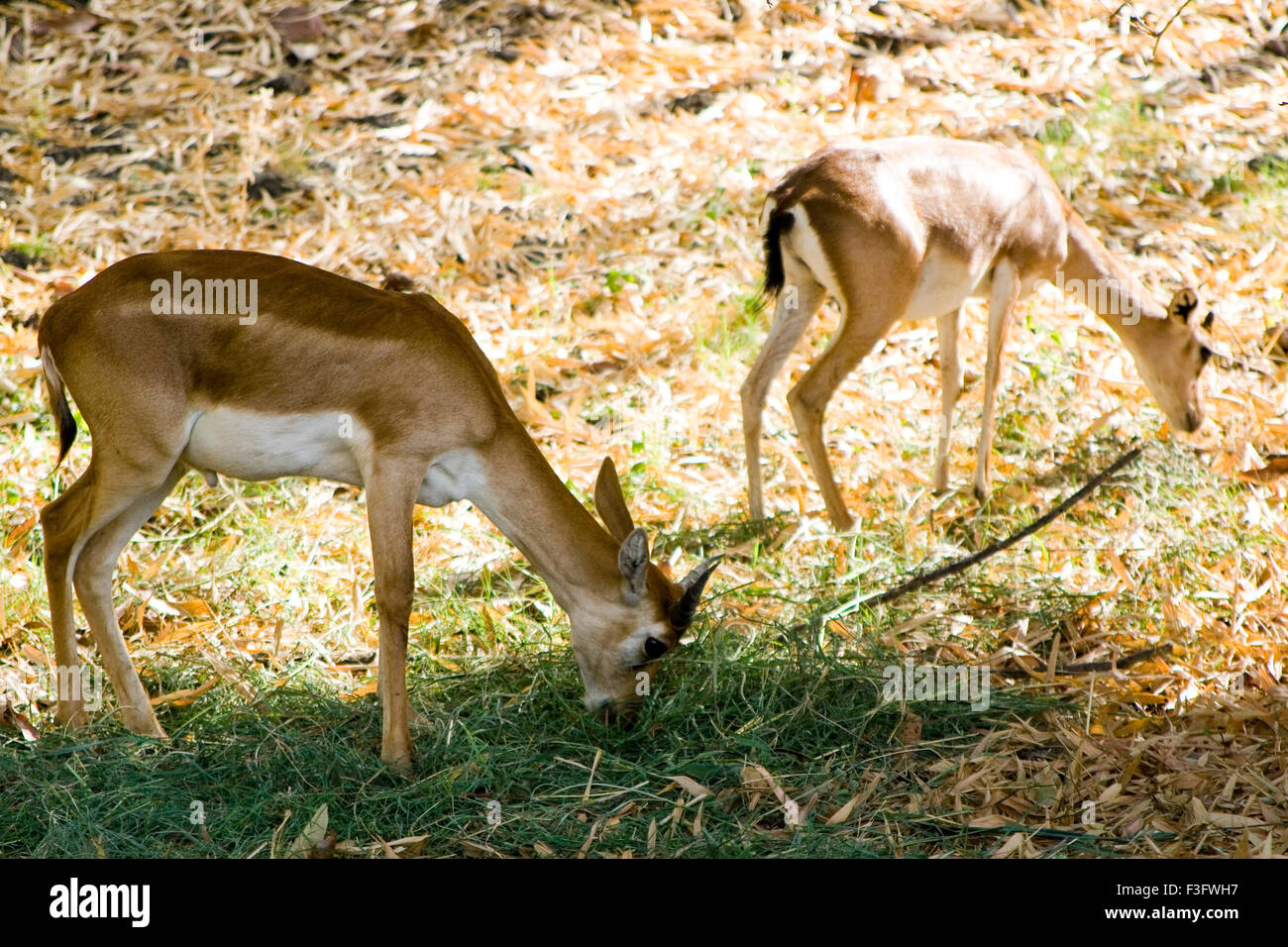 Lieber in Bhopal Zoo; Madhya Pradesh; Indien Stockbild