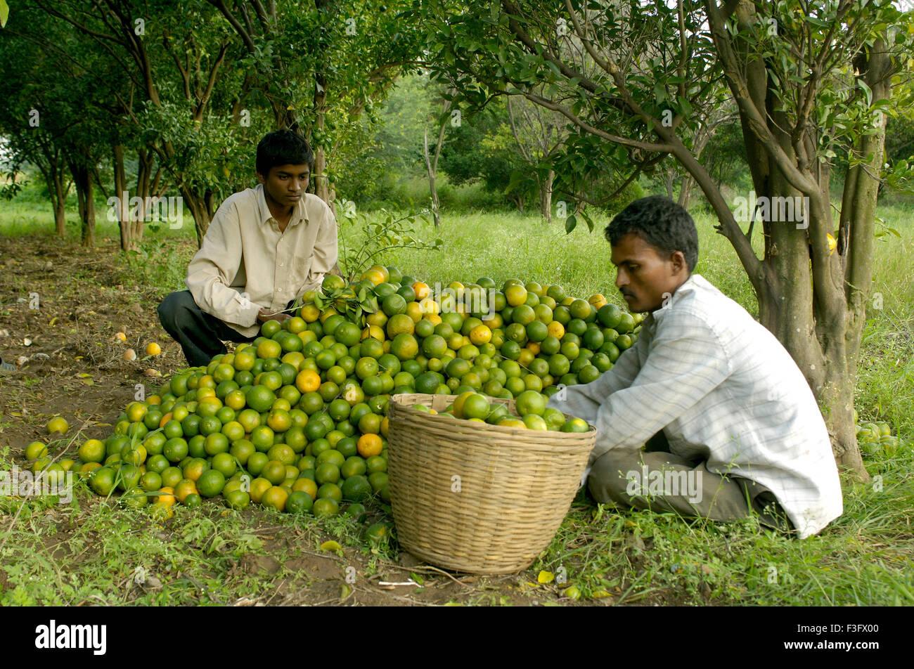 Orange Früchte Ausbeute an Ralegan Siddhi nahe Pune; Maharashtra; Indien Stockbild