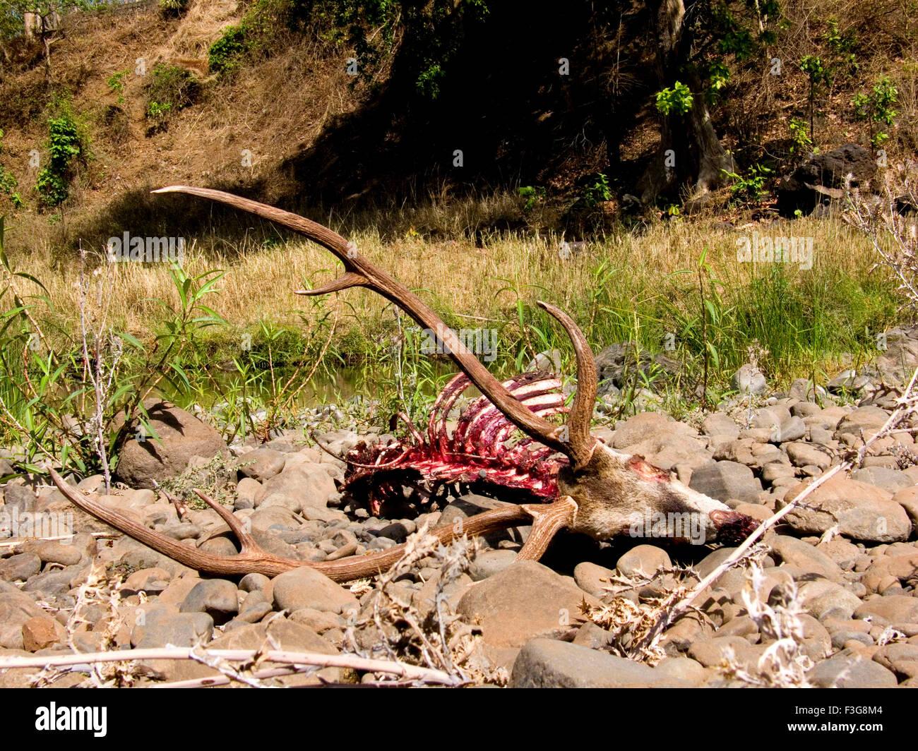 Gefleckte lieber von der Gruppe von wilden Hunden im Wald von Kolkas in Melghat Wildschutzgebiet gejagt; Bezirk Stockbild