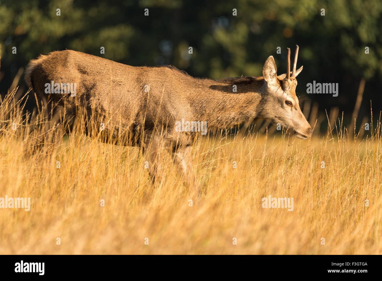 Rotwild-Hirsch (Cervus Elaphus) im Feld. Stockbild