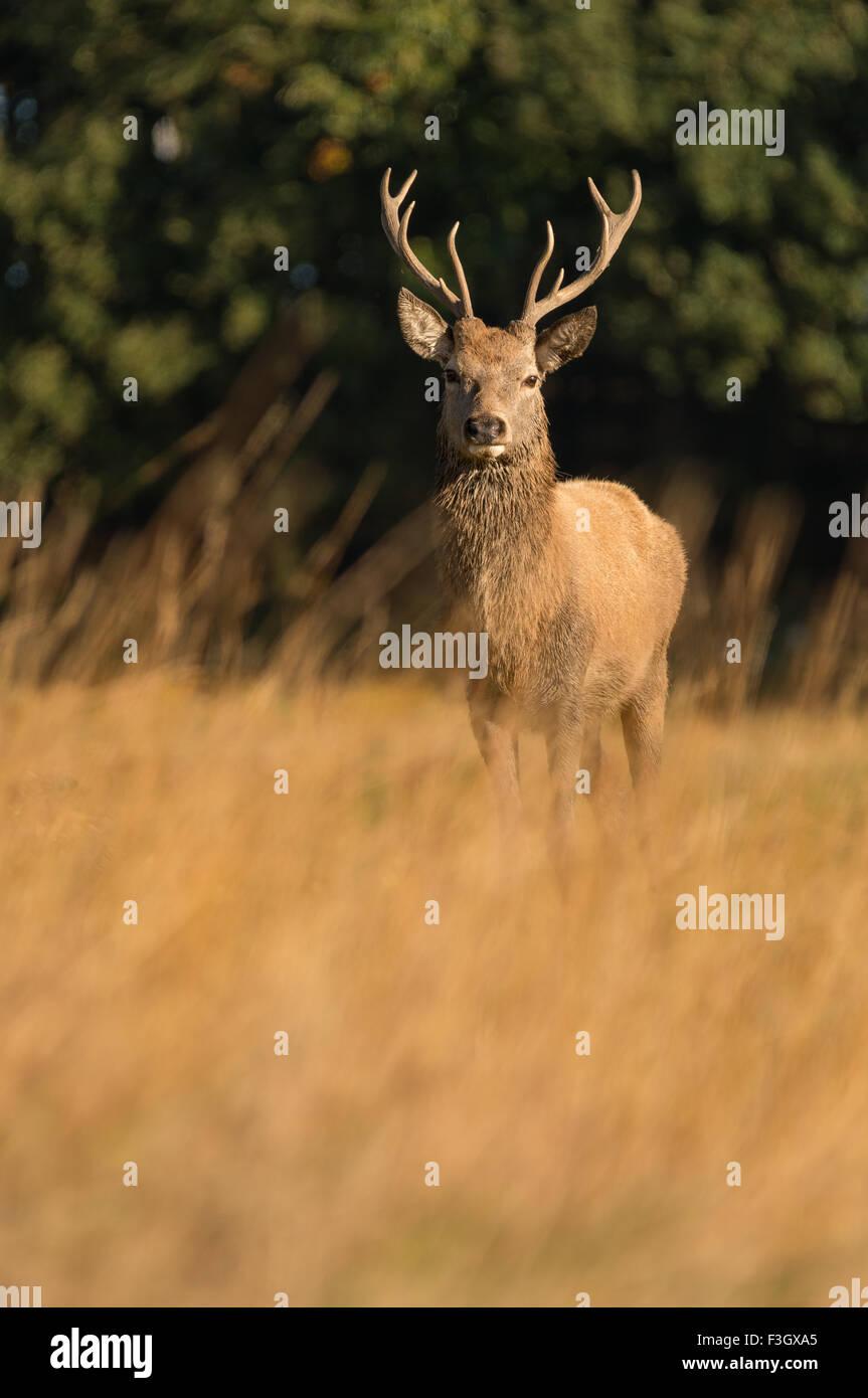 Rothirsch Hirsch (Cervus Elaphus) im Feld stehen. Stockbild