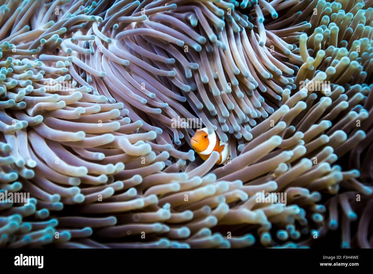 Ein falscher Clown-Anemonenfisch (Amphiprion Ocellaris) versteckt sich auf einer Anemone, Raja Ampat, West-Papua, Stockbild