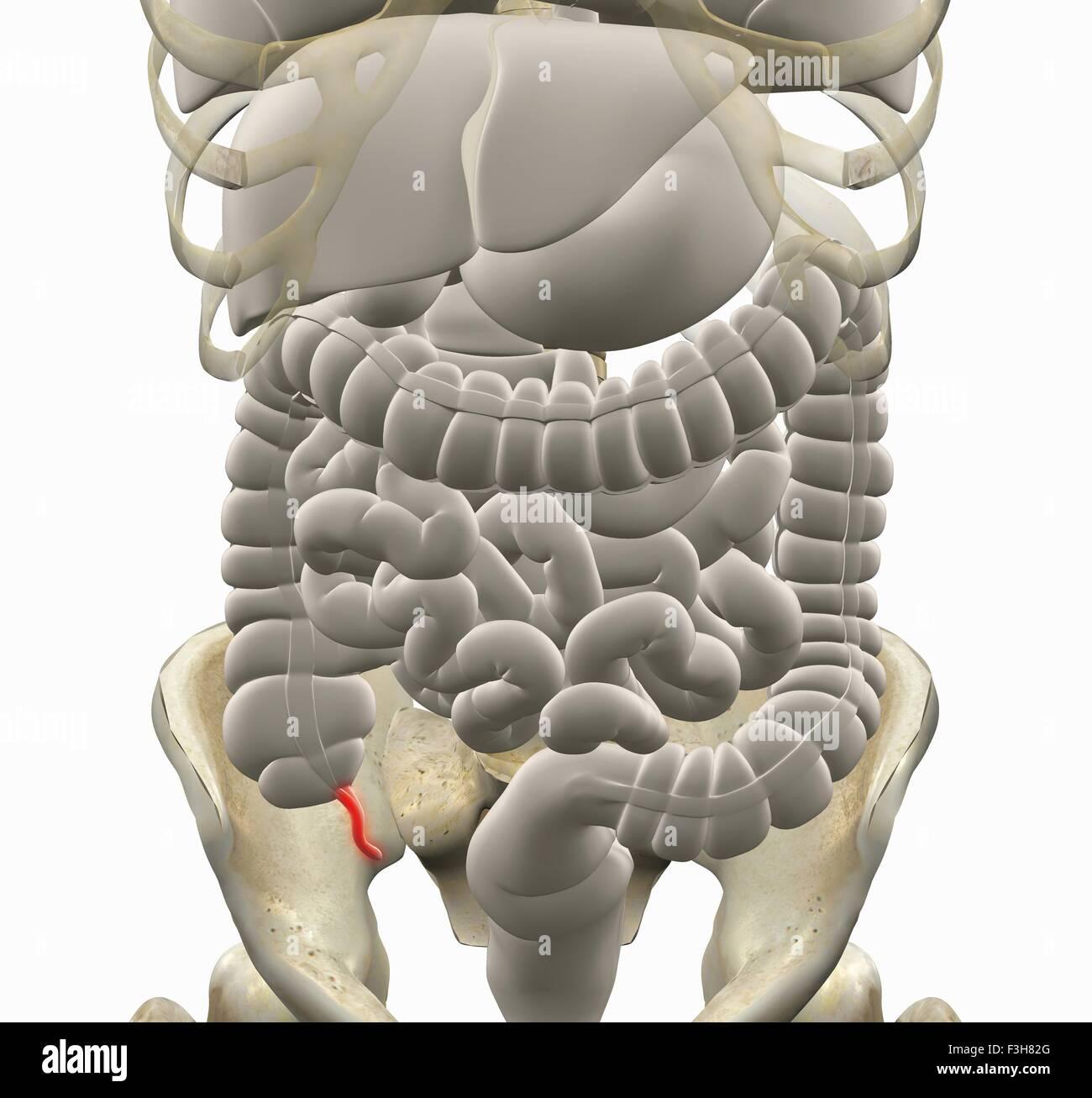 Ungewöhnlich Magen Darm System Zeitgenössisch - Menschliche Anatomie ...