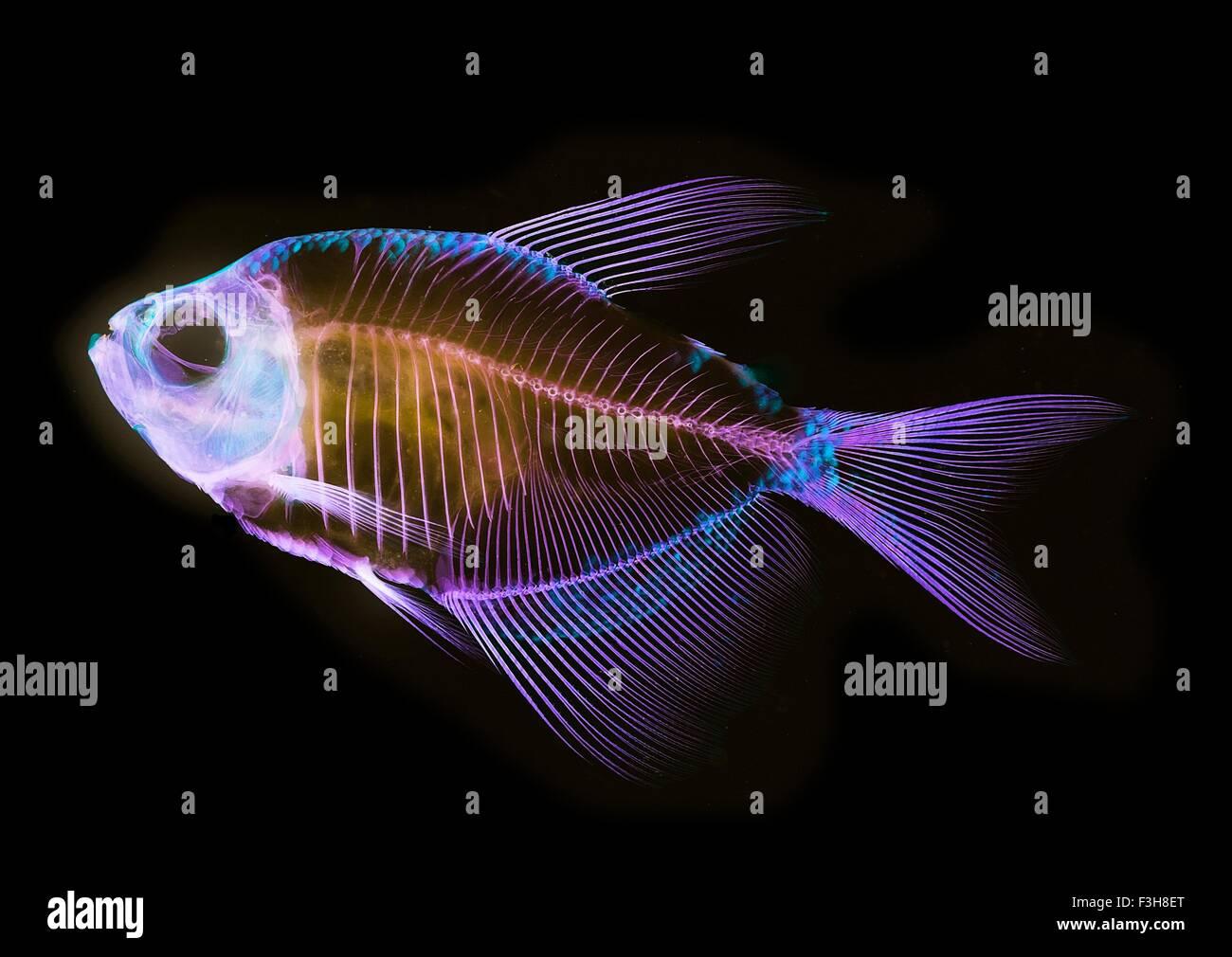 Alizarin Knochen Fleck anatomische Fisch Skelett Vorbereitung von einem weißen schuppigen tetra Stockbild