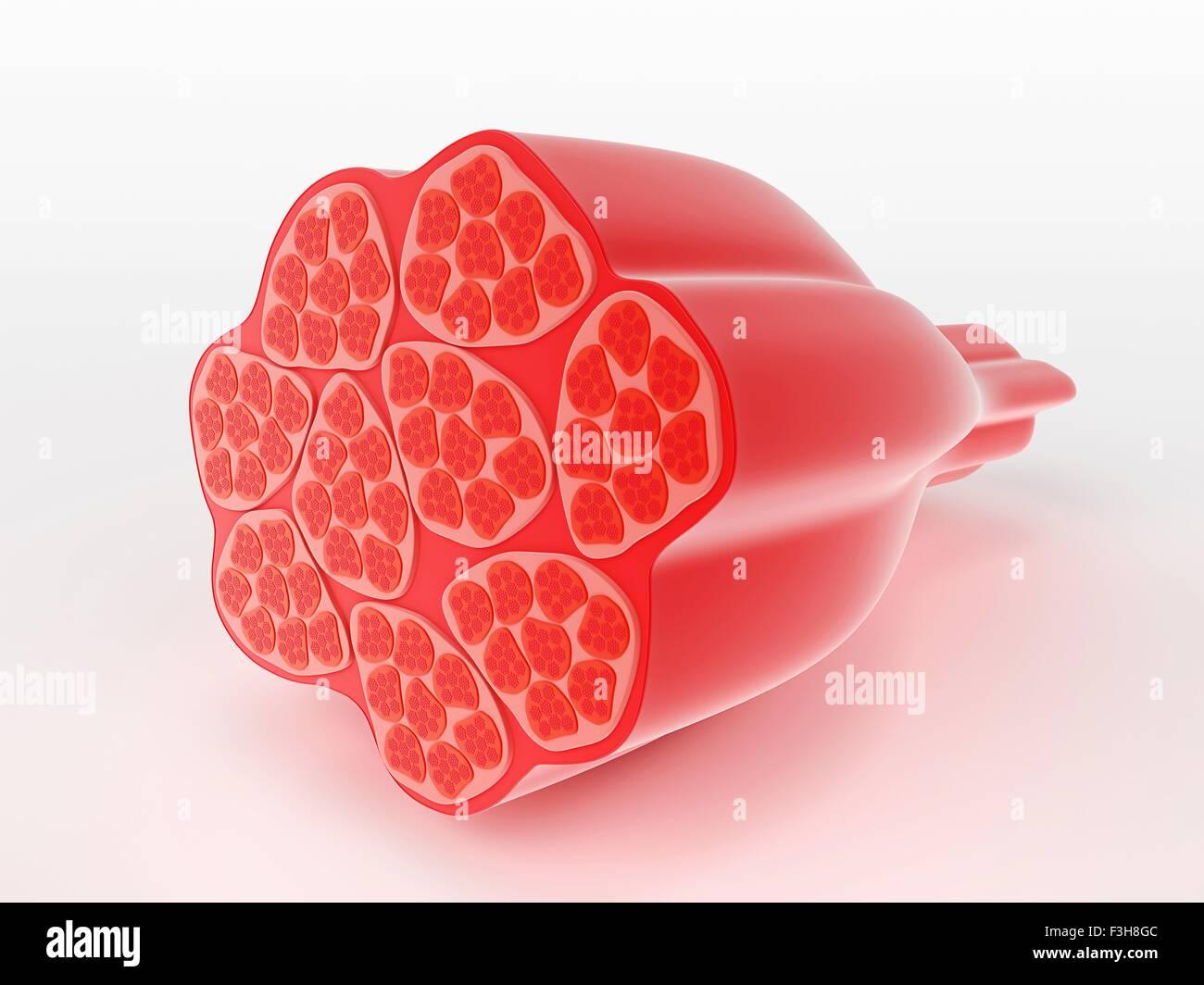 Illustration des menschlichen Muskelzellen Stockbild