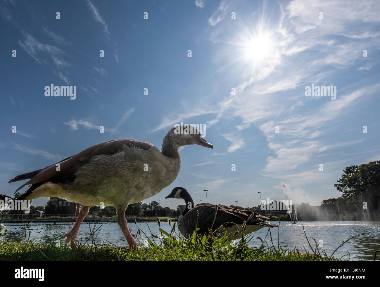 Tierwelt-Vögel im Park Burgess Park, London, England, Großbritannien, Vereinigtes Königreich, Europa Stockbild