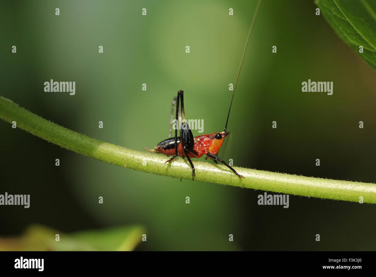 Orange Nymphe Grashuepfer, Conocephalus sp, Tettigoniidae, Tripura, Indien Stockbild