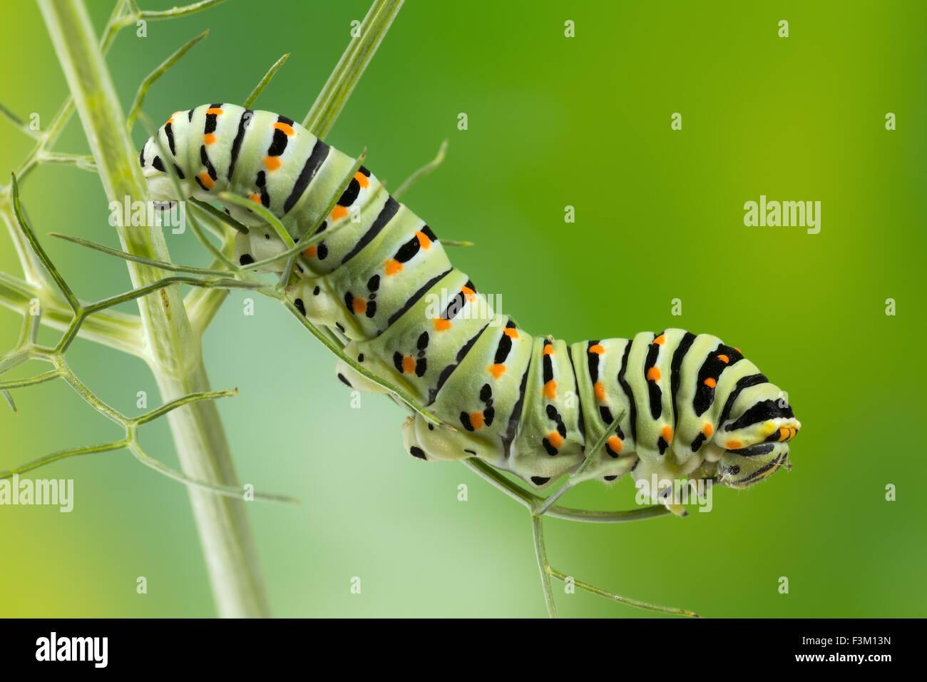 Raupe des maltesischen Schwalbenschwanz-Schmetterling Essen Fenchel Blätter, 10 Tage nach dem schlüpfen, Stockbild