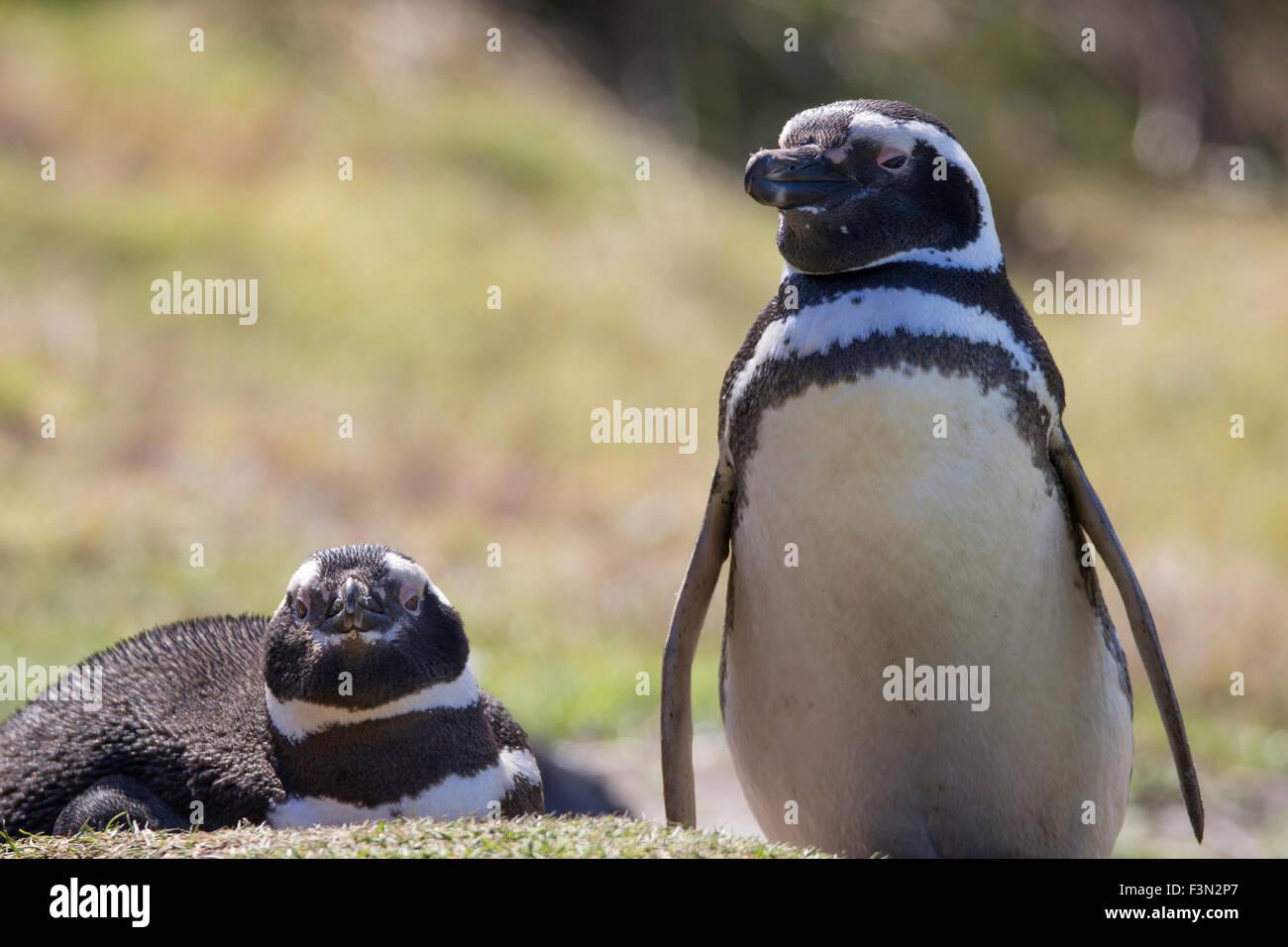 Magellanic Penguin paar in Kolonie. Gypsy Cove, Falkland-Inseln. Stockbild