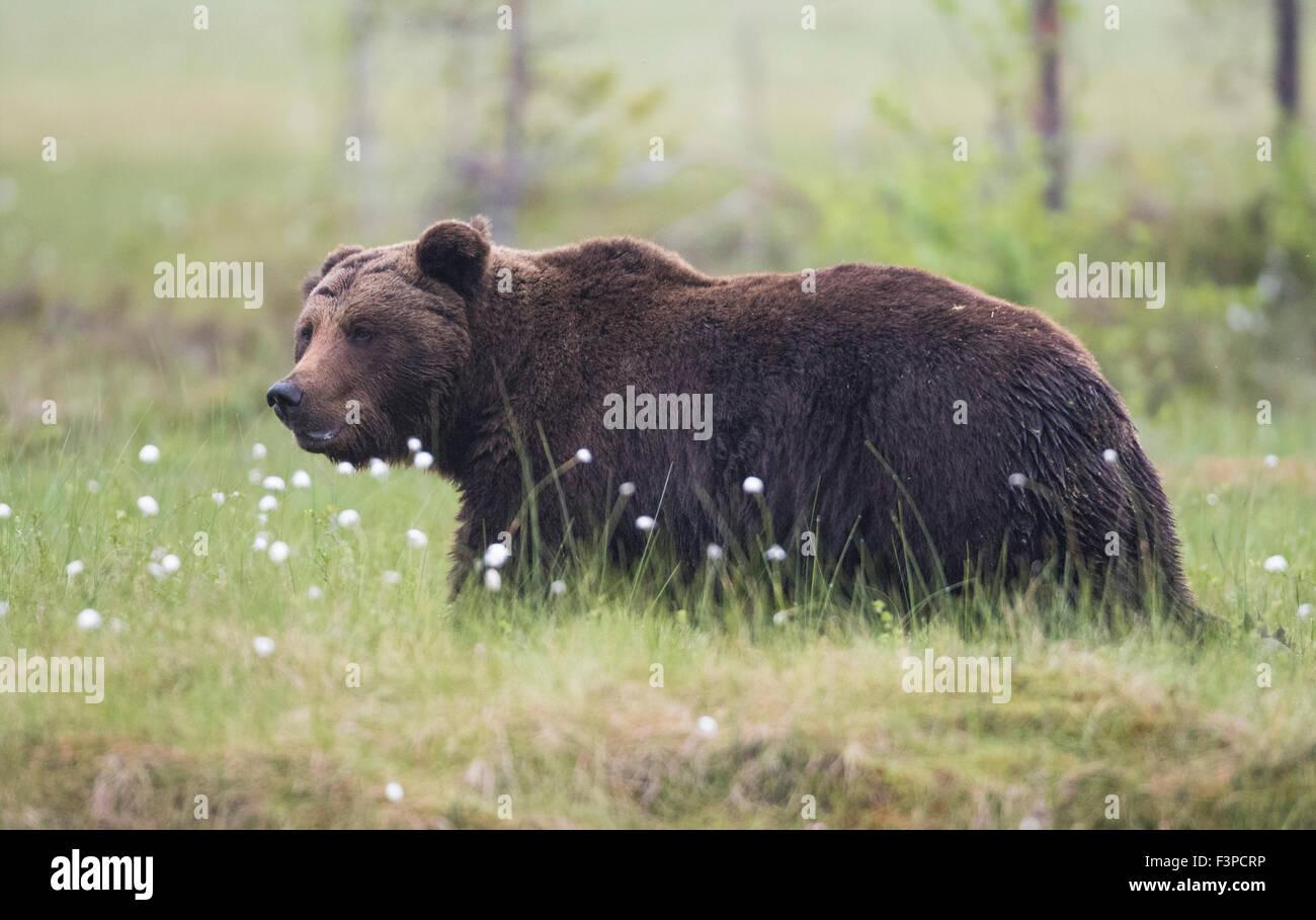Nahaufnahme Phot auf Braunbär Ursus Arctos Wandern in Grass mit Wollgras, Kuhmo, Finnland Stockbild