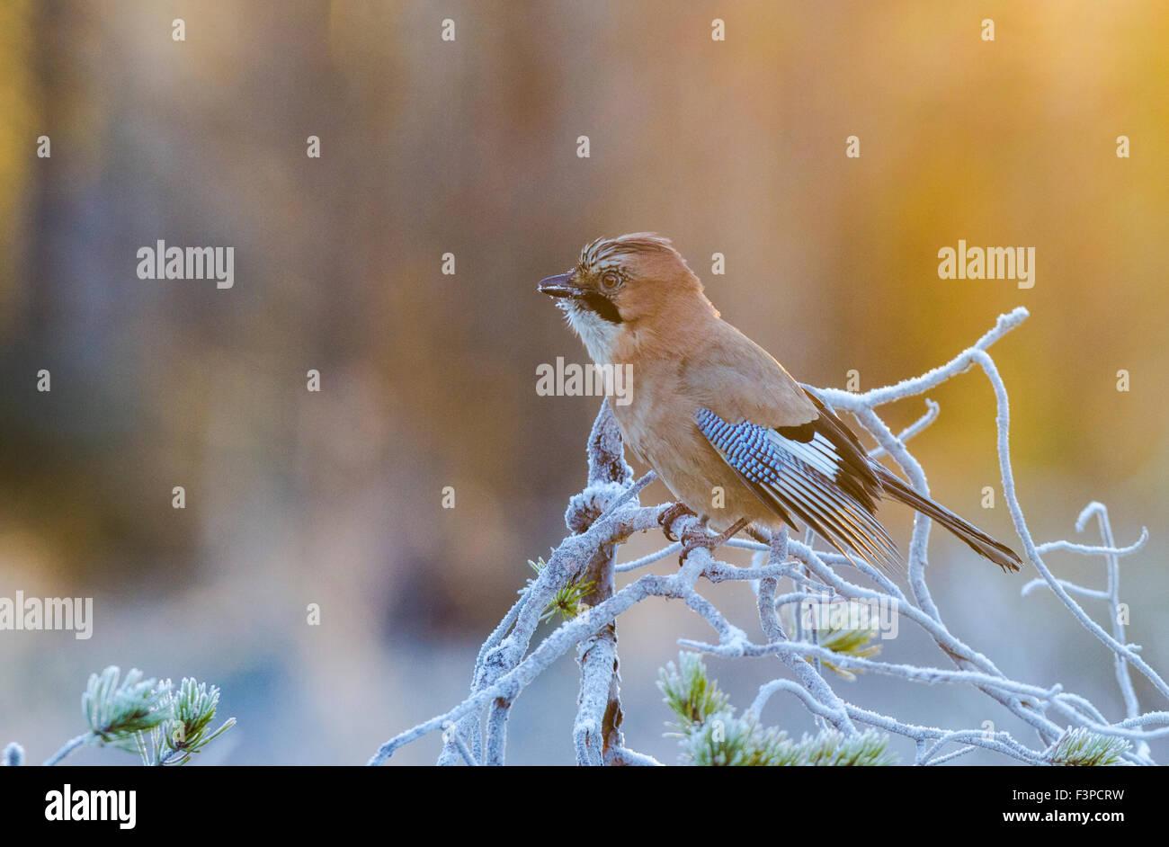 Eichelhäher Garrulus Glandarius, sitzen in einer frostigen Kiefer in warmes Licht, Kalvträsk, Västerbotten, Stockbild