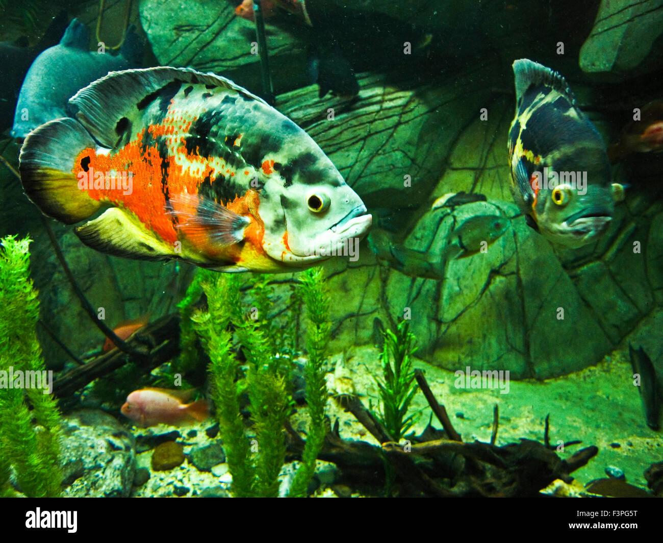 Tropische Fische Astronotus Ocellatus, eine der Varianten von Farben ...