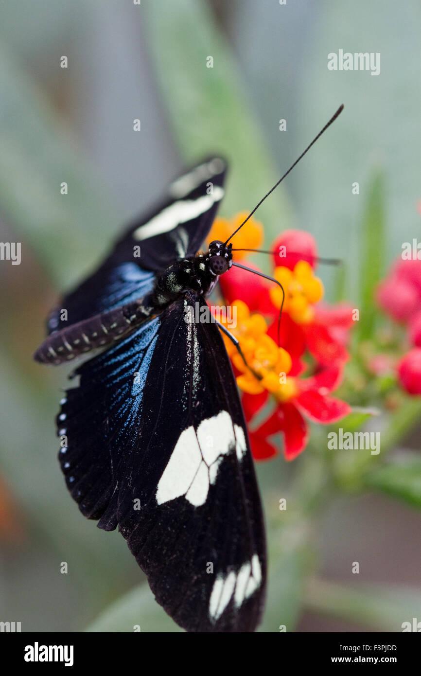 Ein großer Eggfly Schmetterling (Hypolimnas Bolina) ernähren sich von einer Pflanze Stockbild