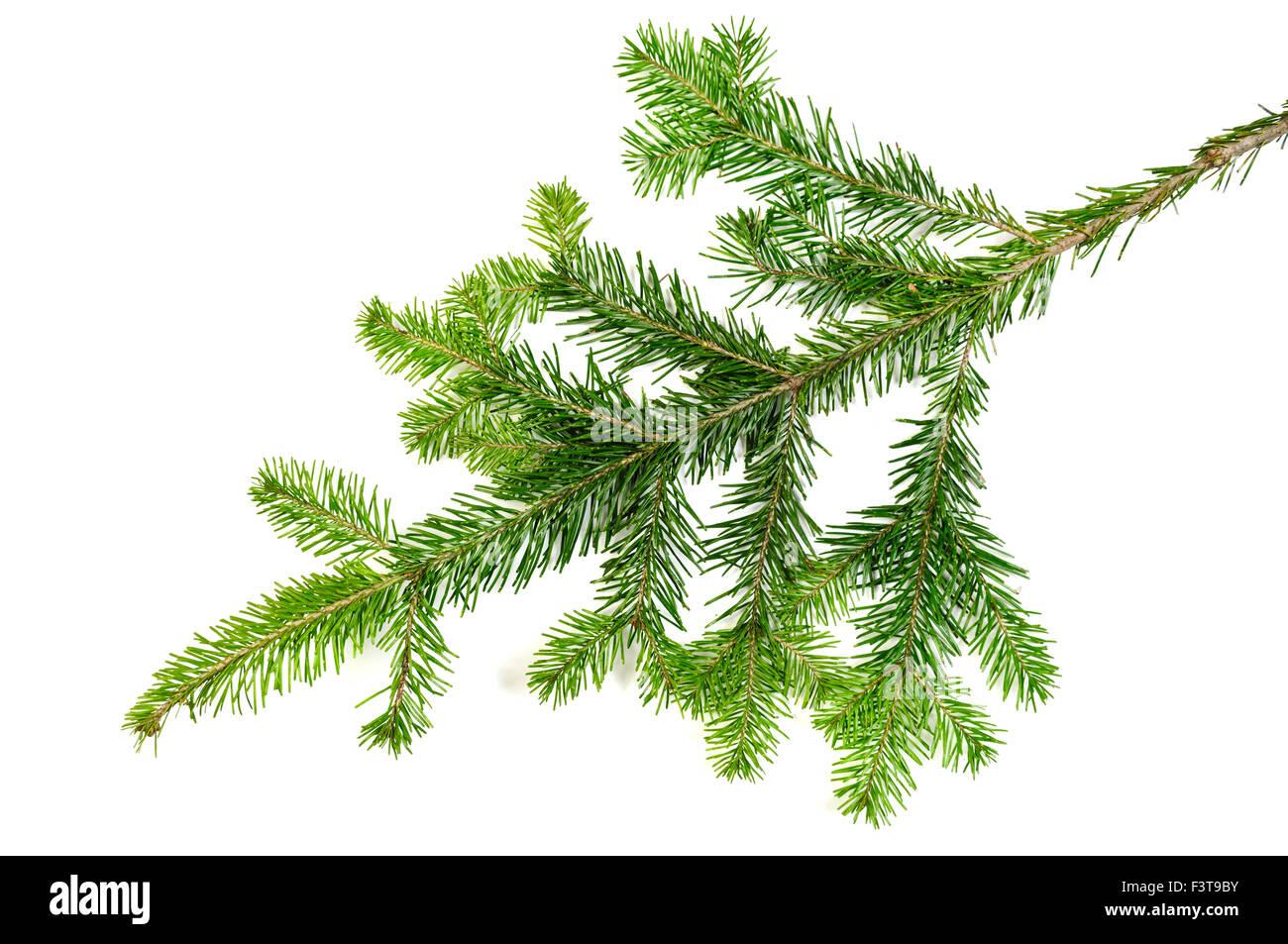 Weihnachten immergrüne Baum Tannenzweig über weiß Stockbild