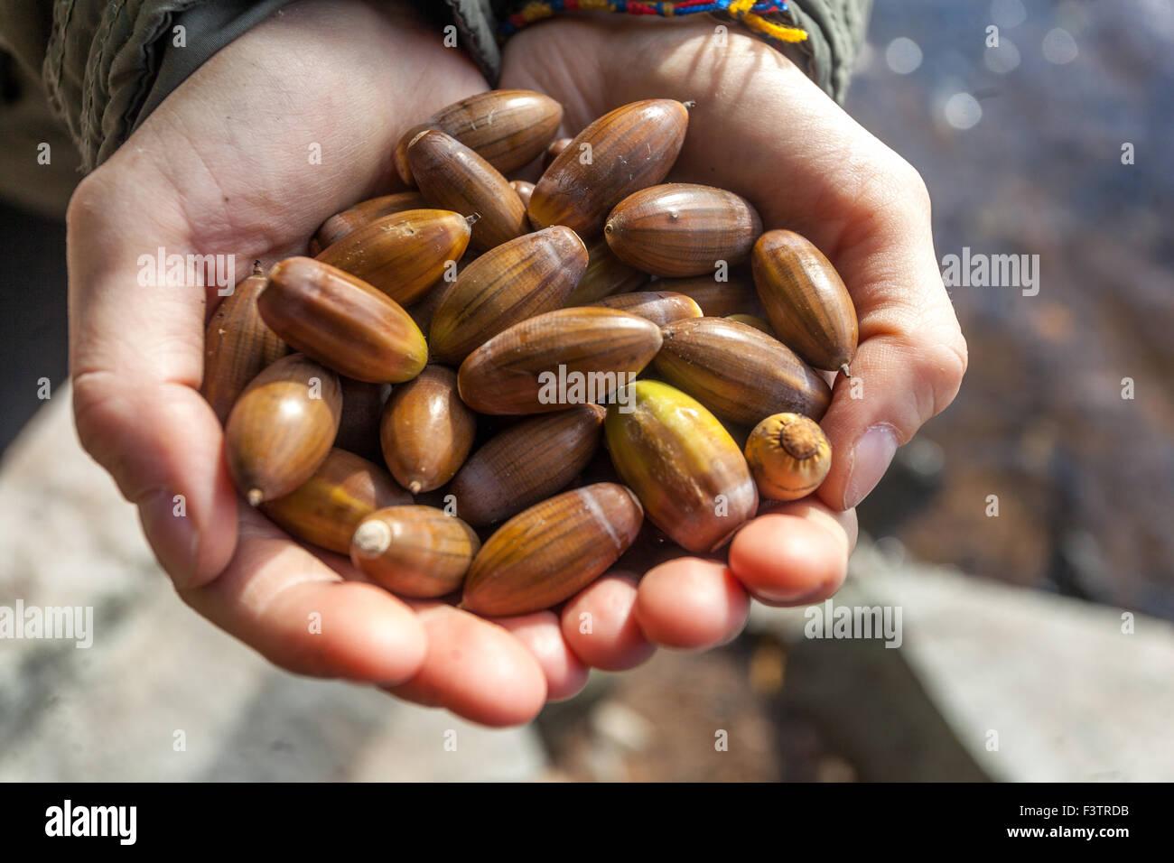Eicheln in palms Quercus robur Stockbild