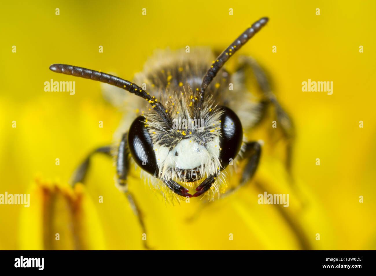 Rot-geringelt Bergbau-Biene (Andrena Labiata) männlichen Erwachsenen in einer Löwenzahn Blume. Powys, Stockbild
