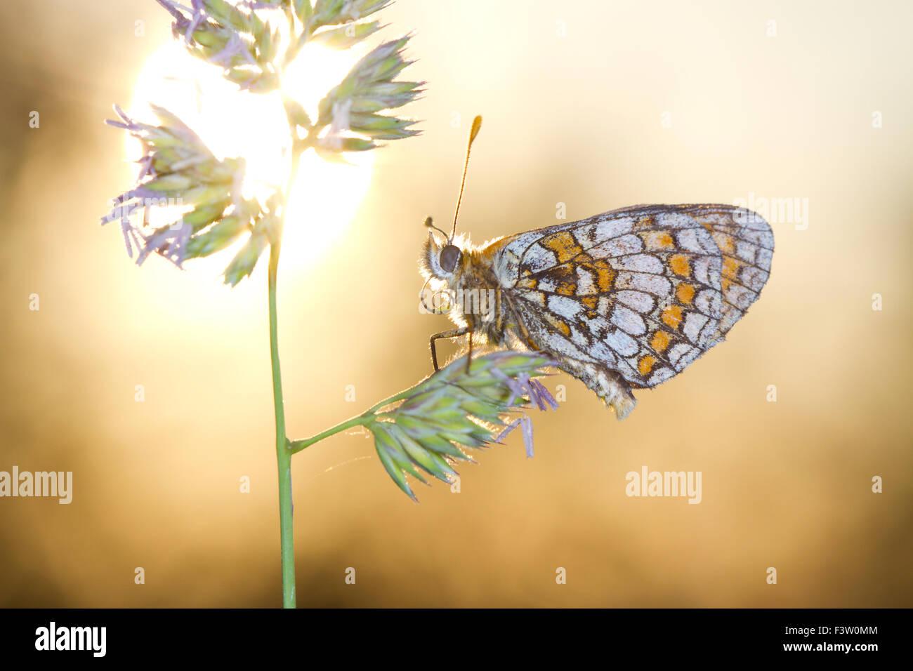 Heide Fritillary Butterfly (Mellicta Athalia) Erwachsener Schlafplatz bei Sonnenuntergang. Auf dem Causse de Gramat, Stockbild