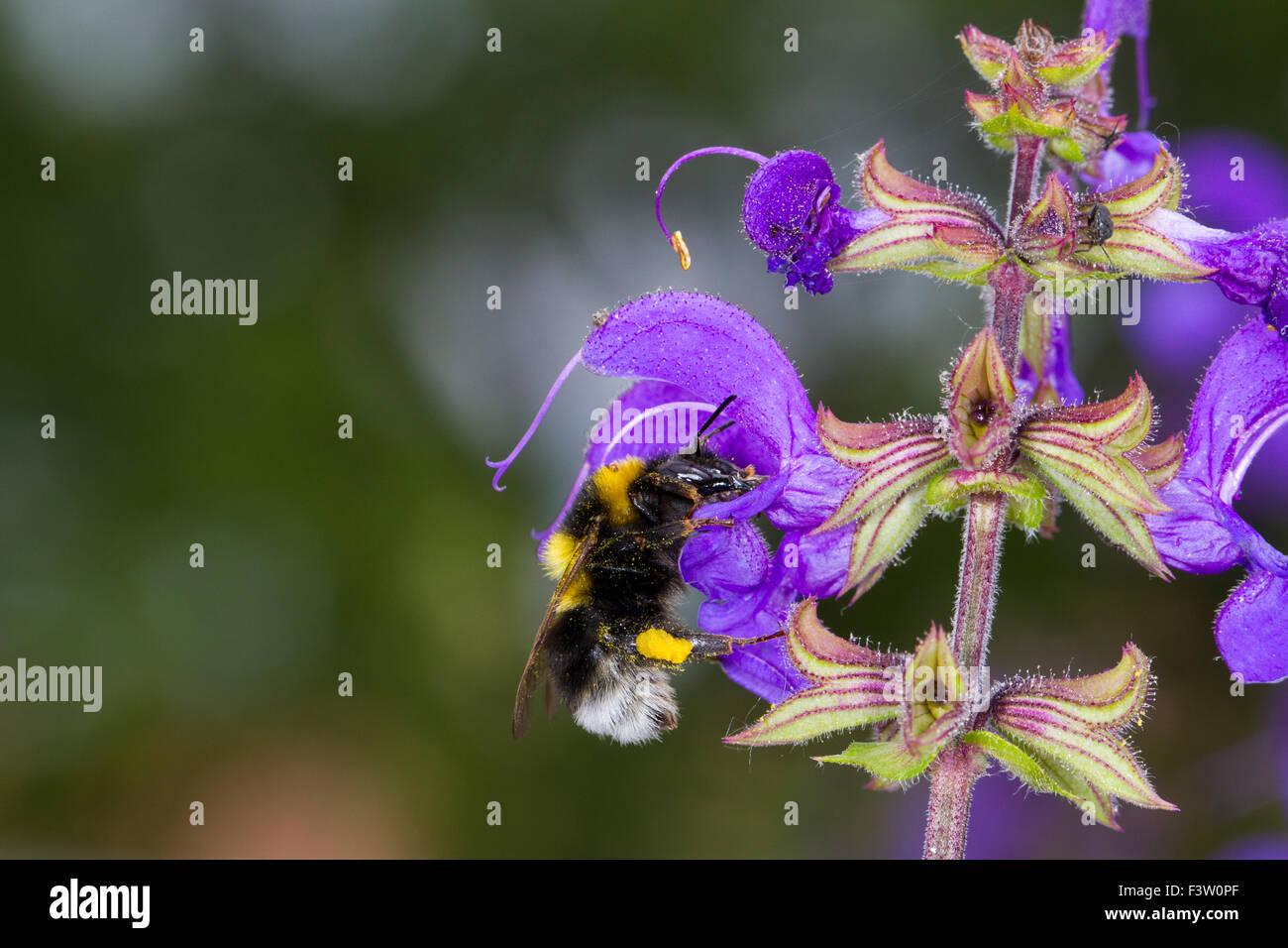 Garten Hummel (Bombus Hortorum) Erwachsenen Arbeiter auf einer Wiese Salbei (Salvia Pratensis) Blume Fütterung. Stockbild