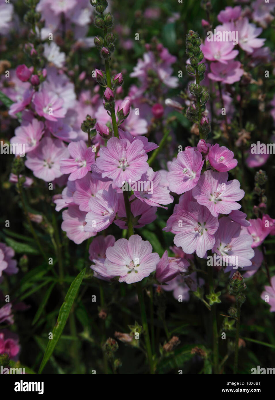 """Sidalcea """"Frau Galloway"""" Nahaufnahme Blume Stockbild"""