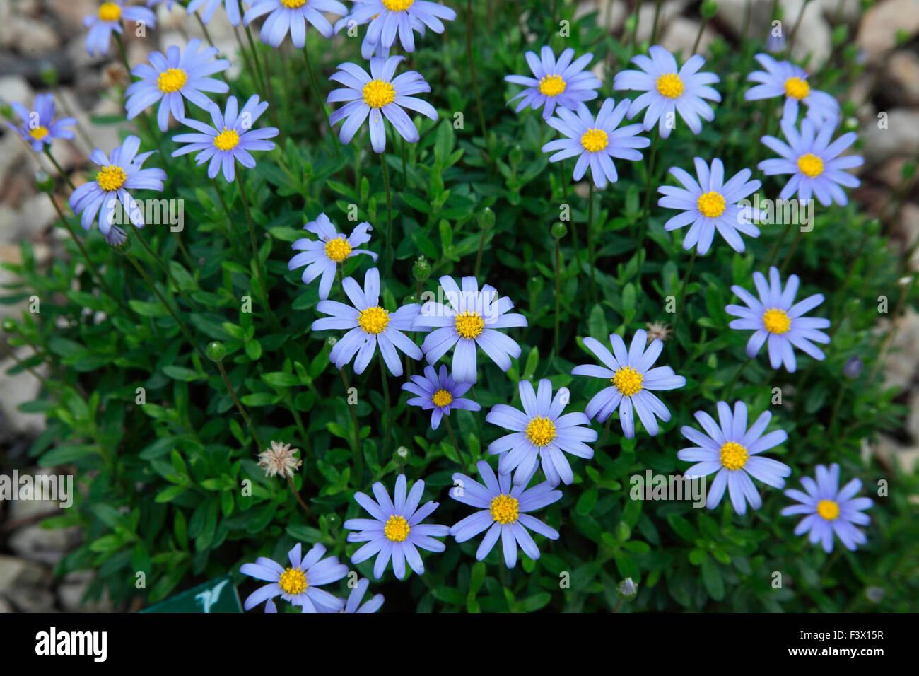 Felicia Amelloides Nahaufnahme von Blumen Stockfotografie   Alamy