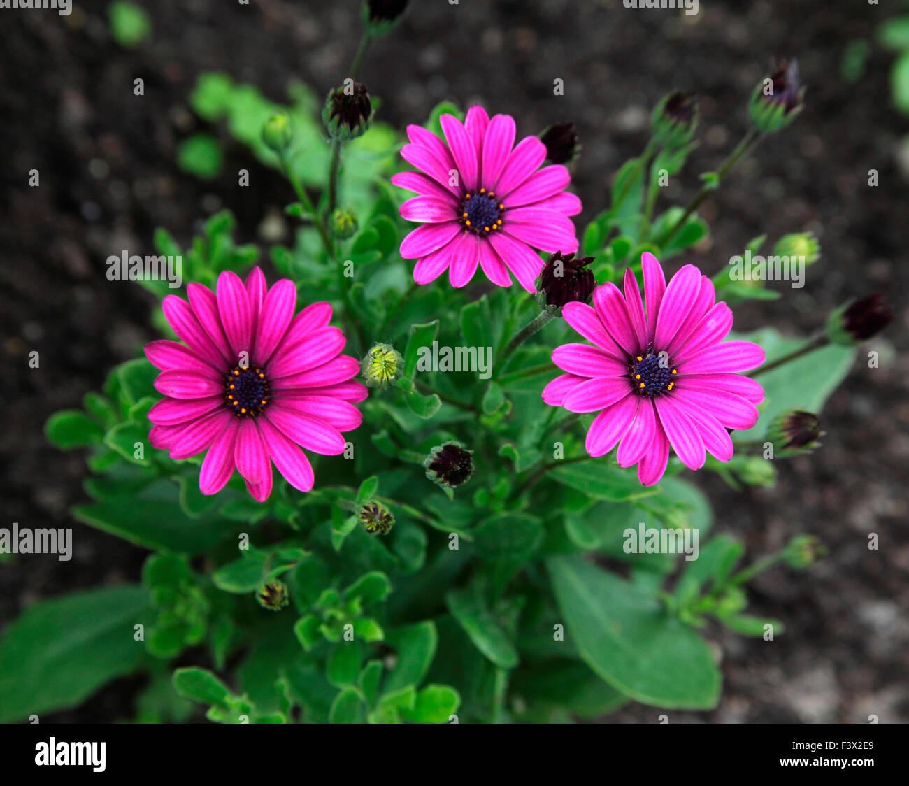 Osteospermum 'Sonnigen Mary' Nahaufnahme von Blumen Stockfoto