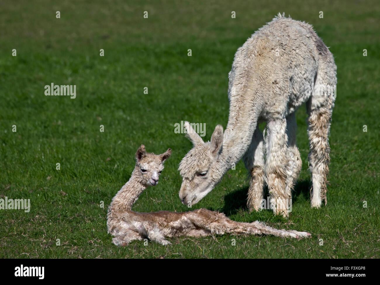 Erwachsenen und Baby Alpakas Verklebung (Vicugna Pacos) Stockbild