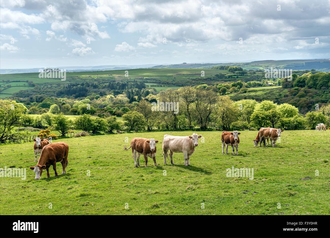Rinder in einer Landschaft im Nationalpark Dartmoor, Devon, England, UK | Kuehe in Landschaft Im Nationalpark Dartmoor, Stockbild