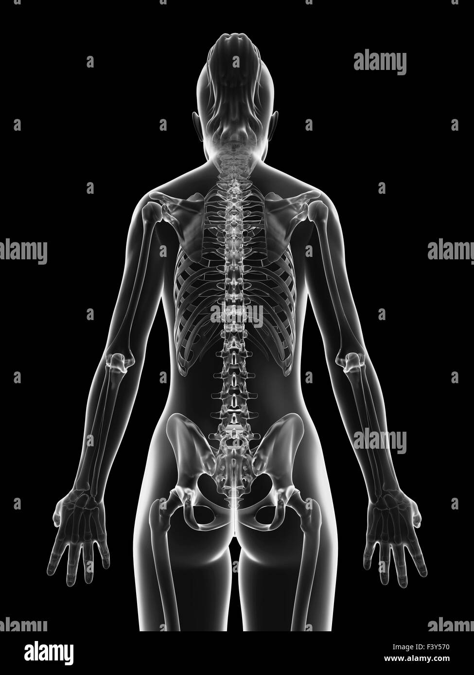 Transparent Female Skeleton Cervical Spine Stockfotos & Transparent ...