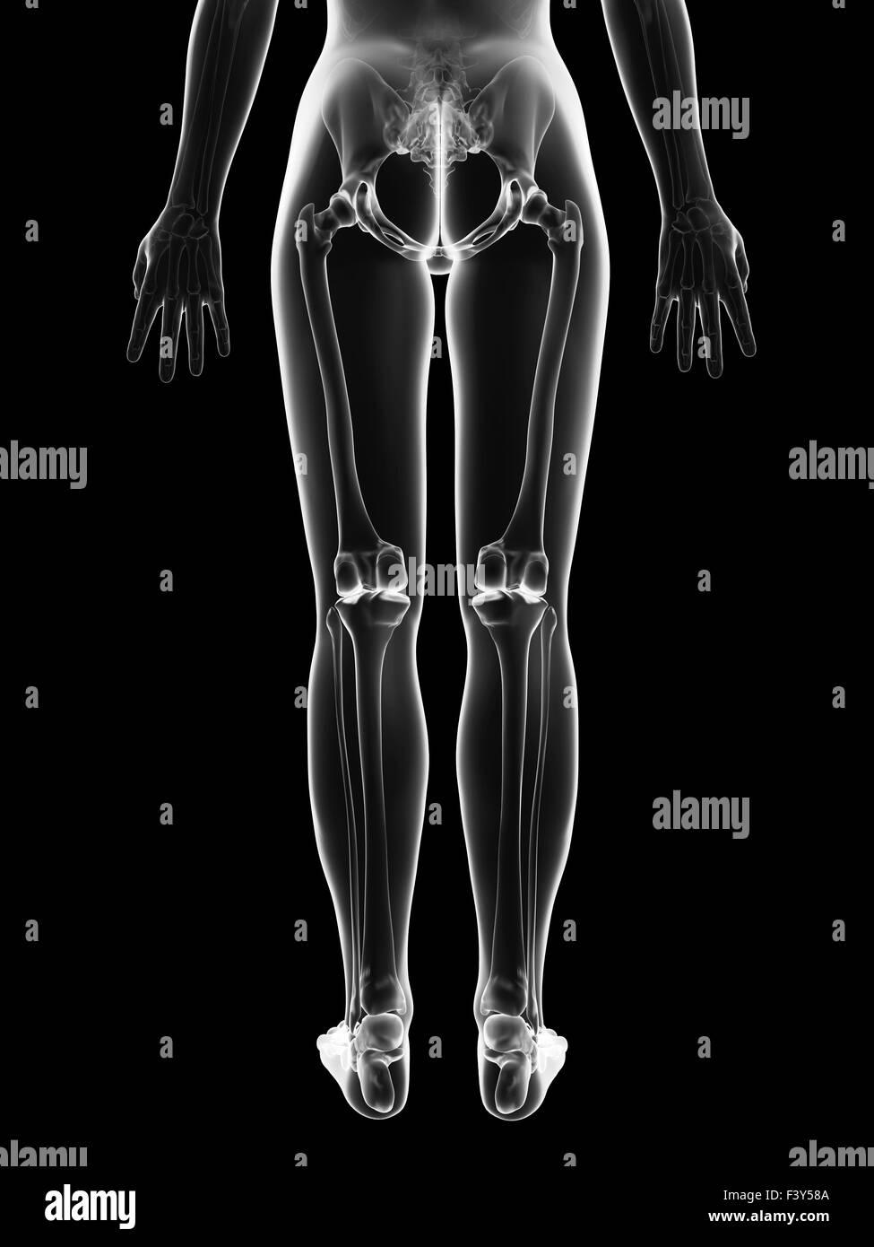 transparente weibliches Skelett - Beinknochen Stockfoto, Bild ...