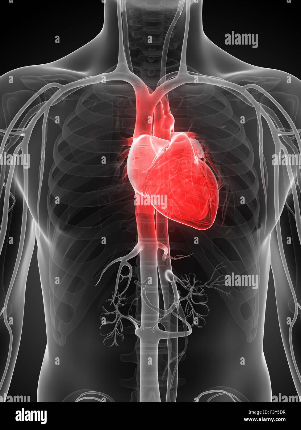 Atemberaubend Markierte Bilder Des Menschlichen Herzens Bilder ...