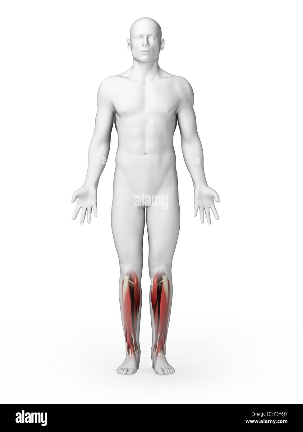 Großartig Untere Anatomie Beinmuskeln Galerie - Menschliche Anatomie ...