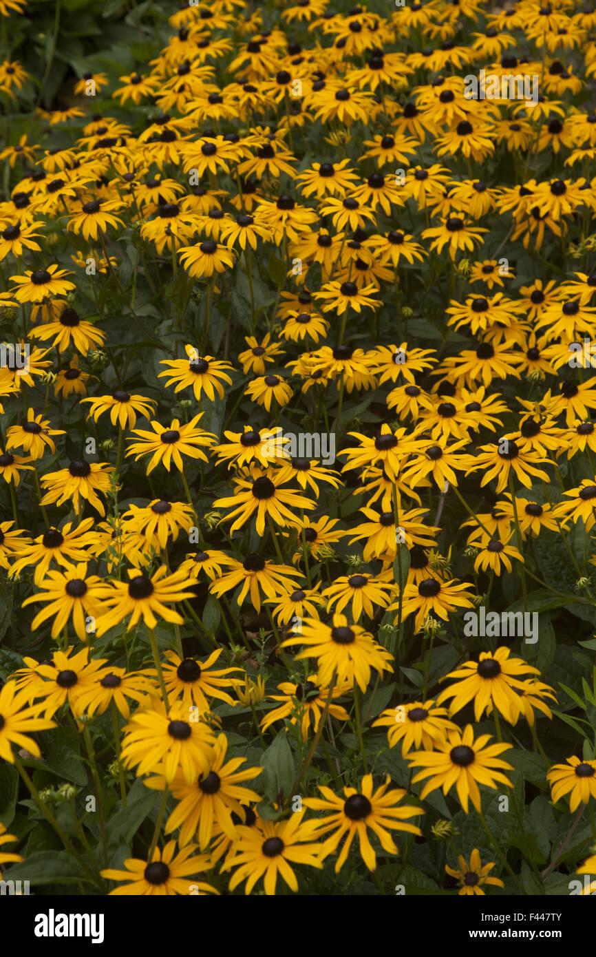 Schlossgarten hinter Palast Noordeinde, hat einen großen Garten der Familie Black-Eyed Susans, Sonnenblumen. Den Stockfoto