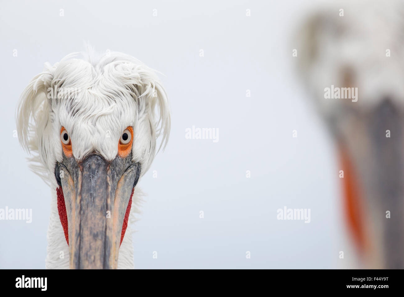Krauskopfpelikan (Pelecanus Crispus) Porträt, See Kerkini, Griechenland. Februar. Hoch in die Vögel Kategorie von Stockfoto