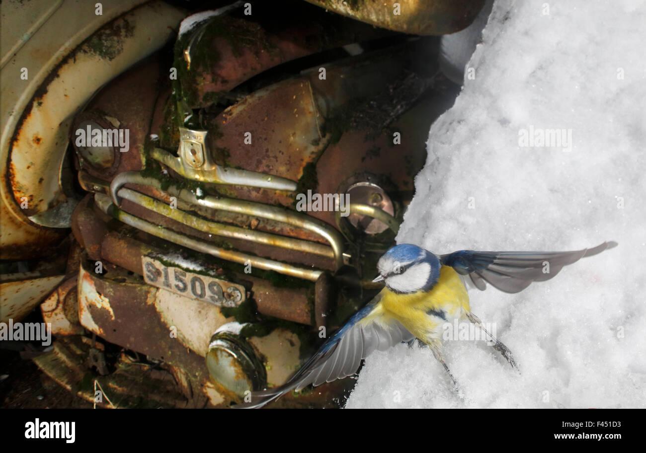 Blaumeise (Cyanistes Caeruleus) ausziehen im Schnee, mit alten Autos ...