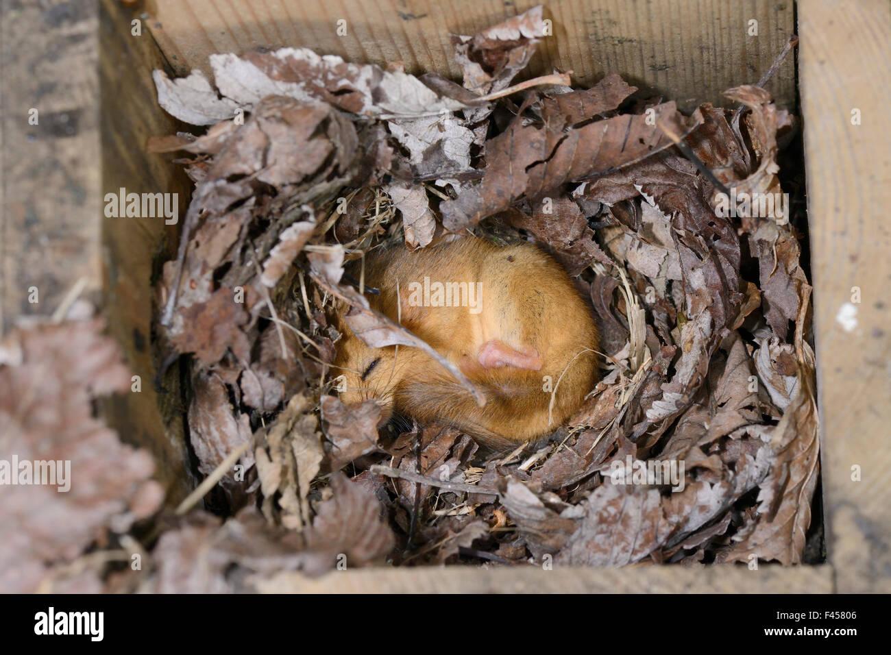 Träge Common / Haselmaus (Muscardinus Avellanarius) schlafen in einem Siebenschläfer Nistkasten festgelegten Backwell Stockfoto