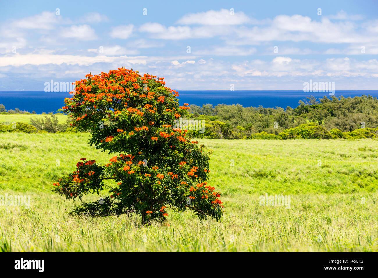 afrikanischer tulpenbaum oder flame tree spathodea campanulata in der n he von akoakoa point. Black Bedroom Furniture Sets. Home Design Ideas