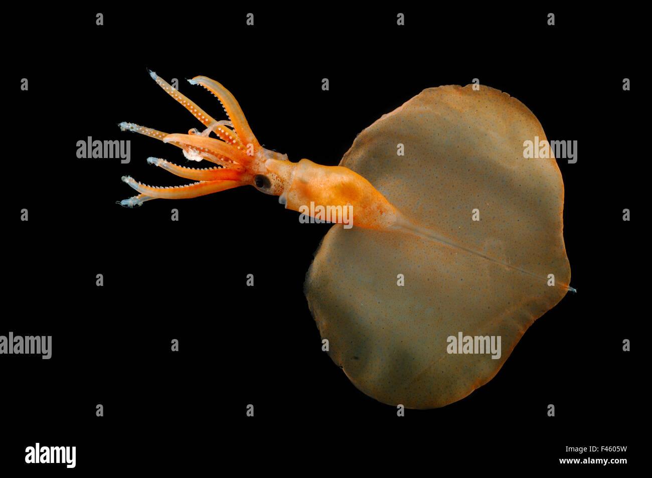 Großen Fin Tintenfisch (Magnapinna Atlantica) Arten, die nur von zwei Exemplaren bekannt gesammelt im nördlichen Stockbild