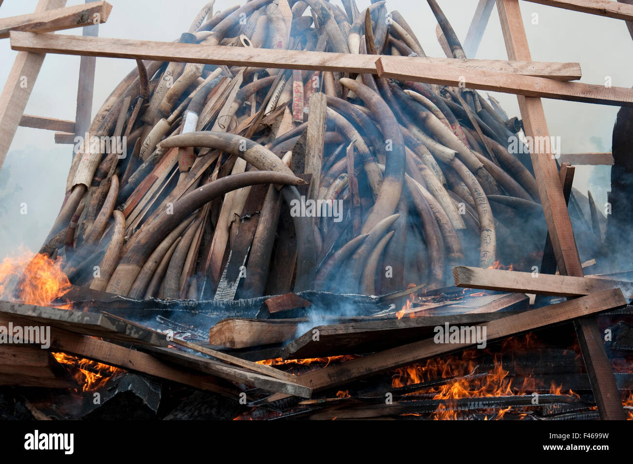 burning ivory tusks stockfotos burning ivory tusks bilder alamy. Black Bedroom Furniture Sets. Home Design Ideas