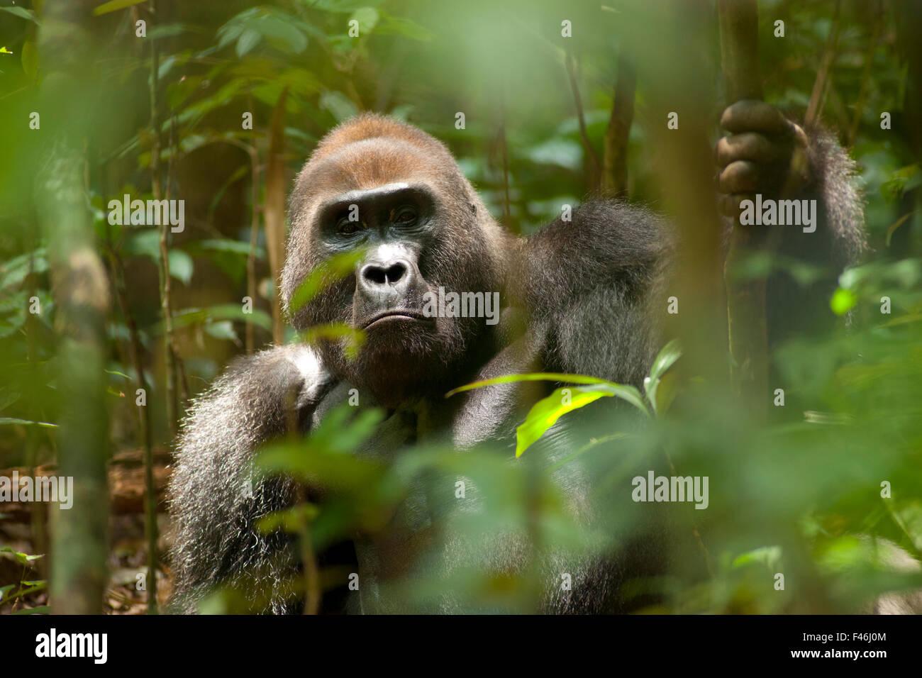 """Westlicher Flachlandgorilla (Gorilla Gorilla Gorilla) Silberrücken """"Makumba"""" Porträt, Führer Stockbild"""