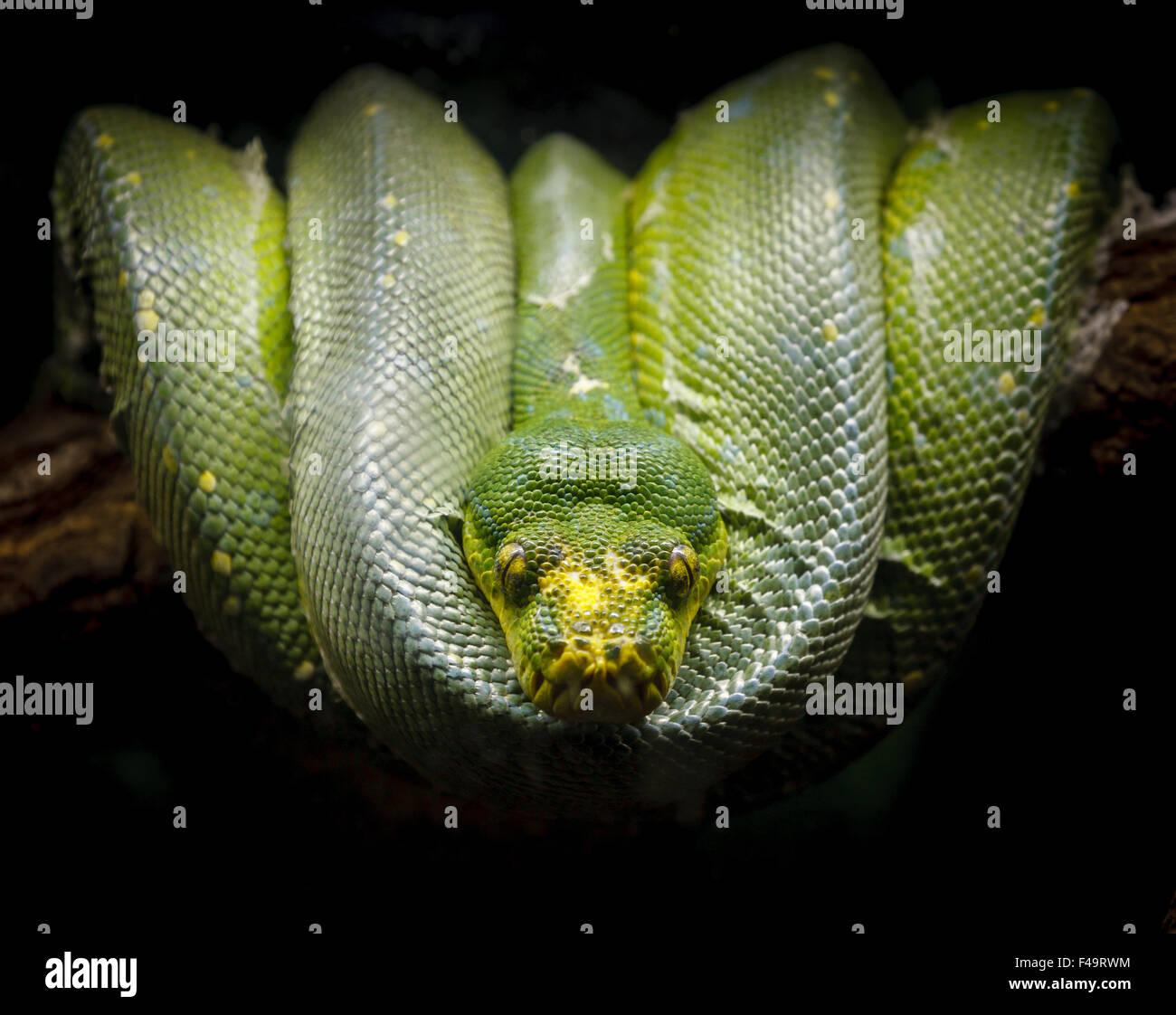 Grüne Python (Morelia Viridis) zusammengerollt bequem auf einem Ast. Fotografie von einer Schlangenarten der Familie fast. Stockfoto