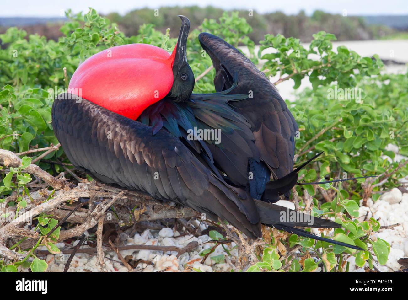 Großen Fregattvogels (Fregata minor) Männchen umwerben weibliche Vögel Verschachtelung Kolonie durch Stockbild