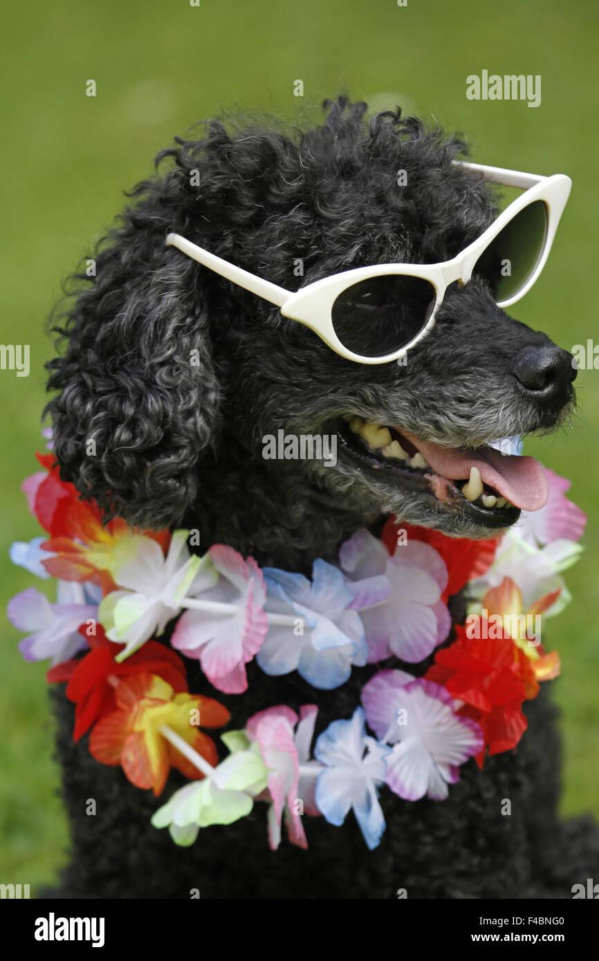 Pudel mit Sonnenbrille Stockbild