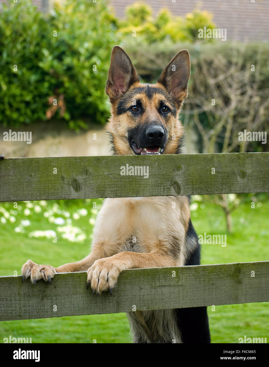 Wachsamen Schäferhund stehend durch den Zaun. Stockbild