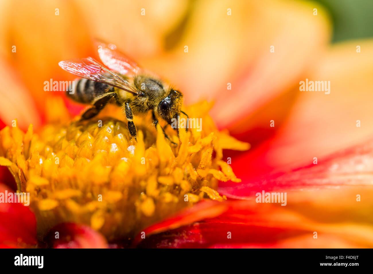 Ein Krainer Biene (Apis mellifera carnica) ist das Sammeln von Nektar aus einer dahlie (Asteraceae) Blüte Stockbild