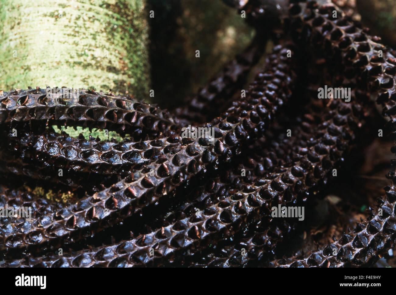 Costa Rica, La Selva Biological Station, Parque National Braulio Carillo, Nahaufnahme des Clusters auf Palme (großformatige Stockbild