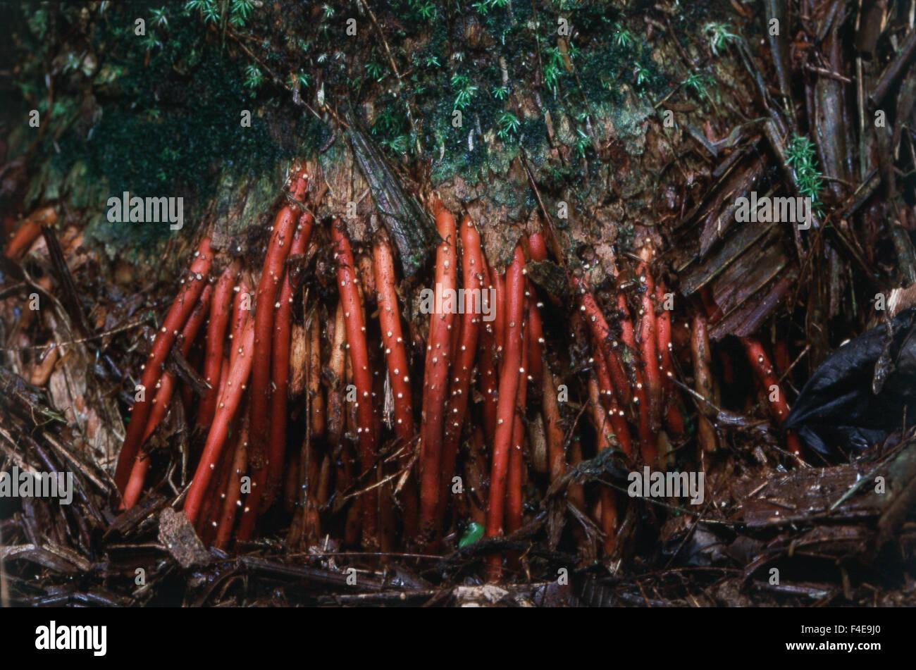 Costa Rica, La Selva Biological Station, Parque National Braulio Carillo, red Palm Wurzeln (großformatige Größen Stockbild