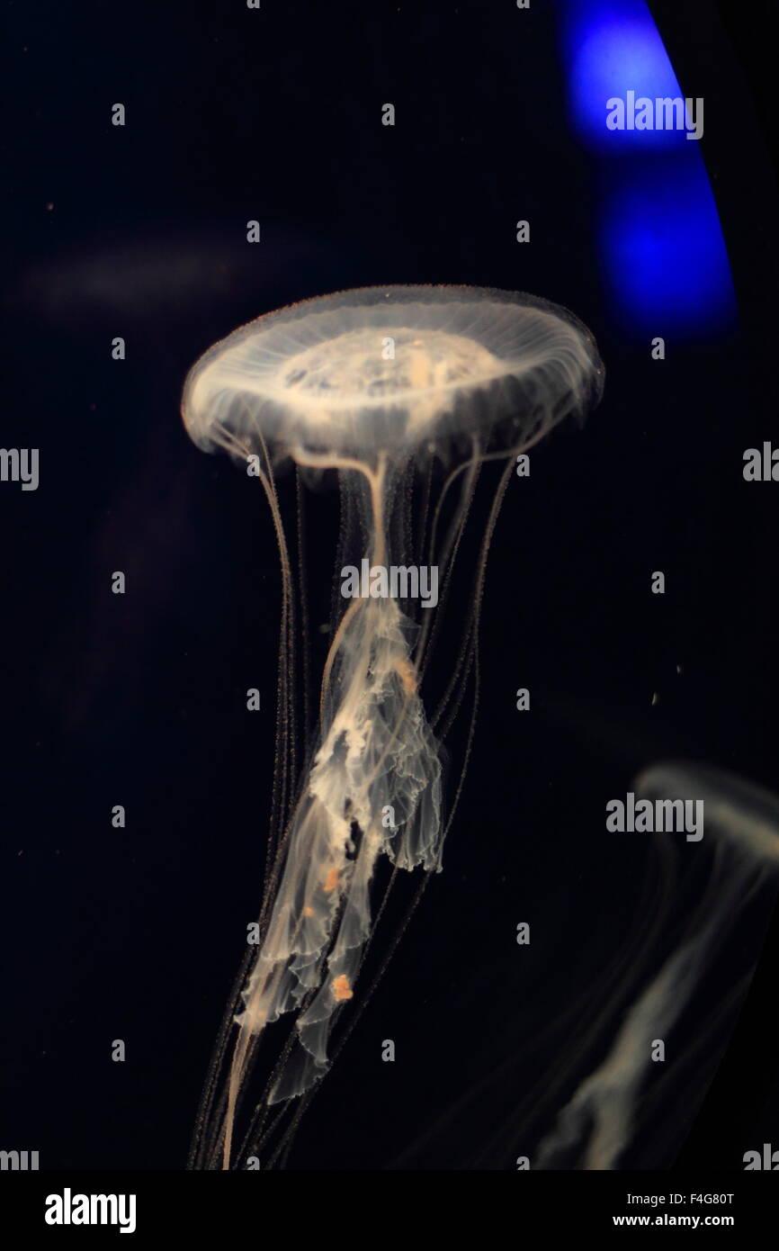 Atlantische Meer Brennnessel Quallen (Chrysaora Quinquecirrha) schwimmen über einen schwarzen Hintergrund Stockbild