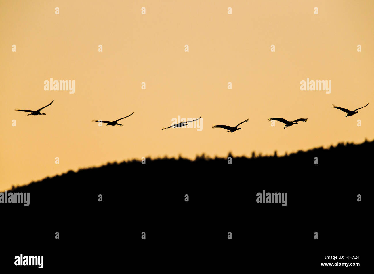 Kraniche im Flug bei Sonnenaufgang, Monte Vista National Wildlife Refuge, Colorado, USA Stockbild